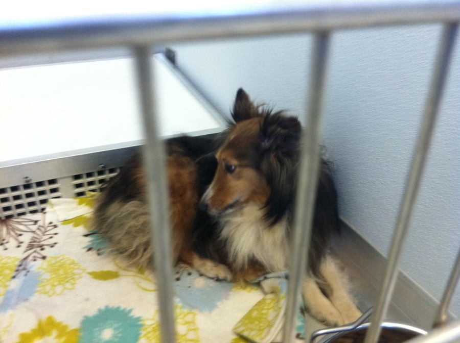 LOST - Sheltie Found in Tree After Moore Tornado - Central OK Humane Society