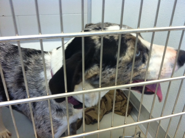 LOST - Lula needs a temporary home after Monday's tornado - Central OK Humane Society