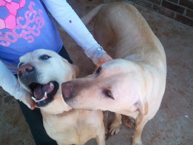 FOUND: 2 Yellow Labs
