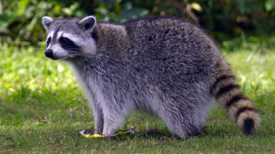 NOTE: This is not the raccoon mentioned in the story.