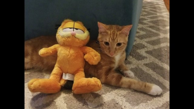 Oklahoma Mother S Viral Plea For Garfield Like Cat Ends With Play Date Kfor Com Oklahoma City
