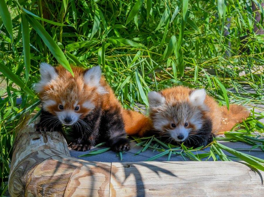 Ravi and Khyana. Courtesy: Oklahoma City Zoo