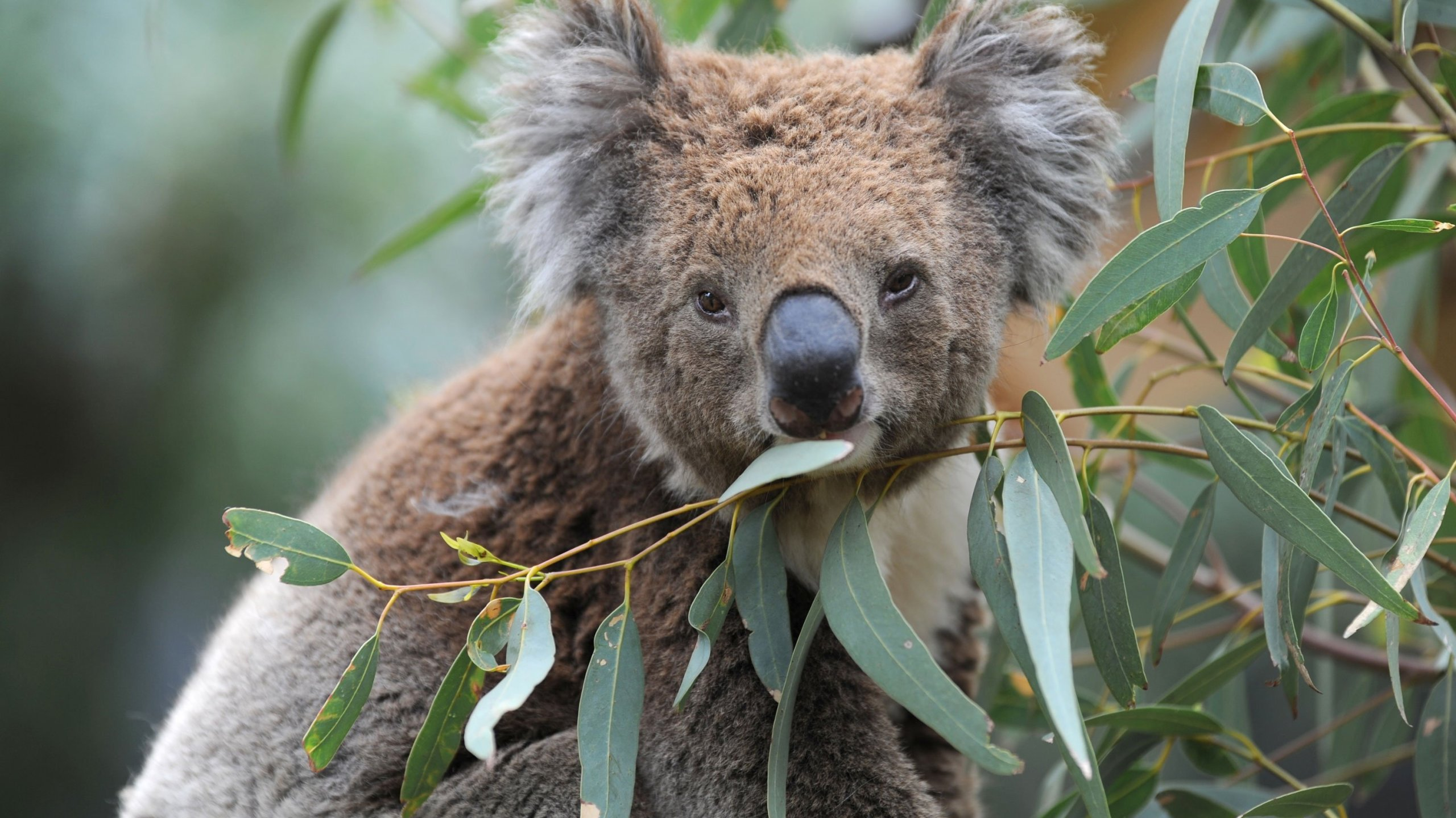 The wildfires torching southern Australia have wiped out much of the koala population, stoking fears that the national icon is getting closer to extinction.