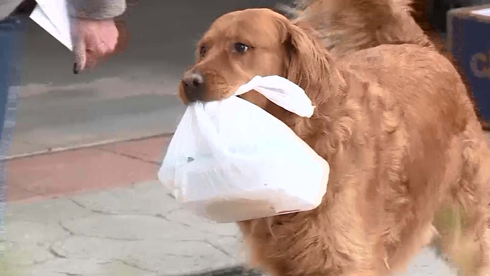 Colorado woman trains dog to bring groceries in for neighbor ...