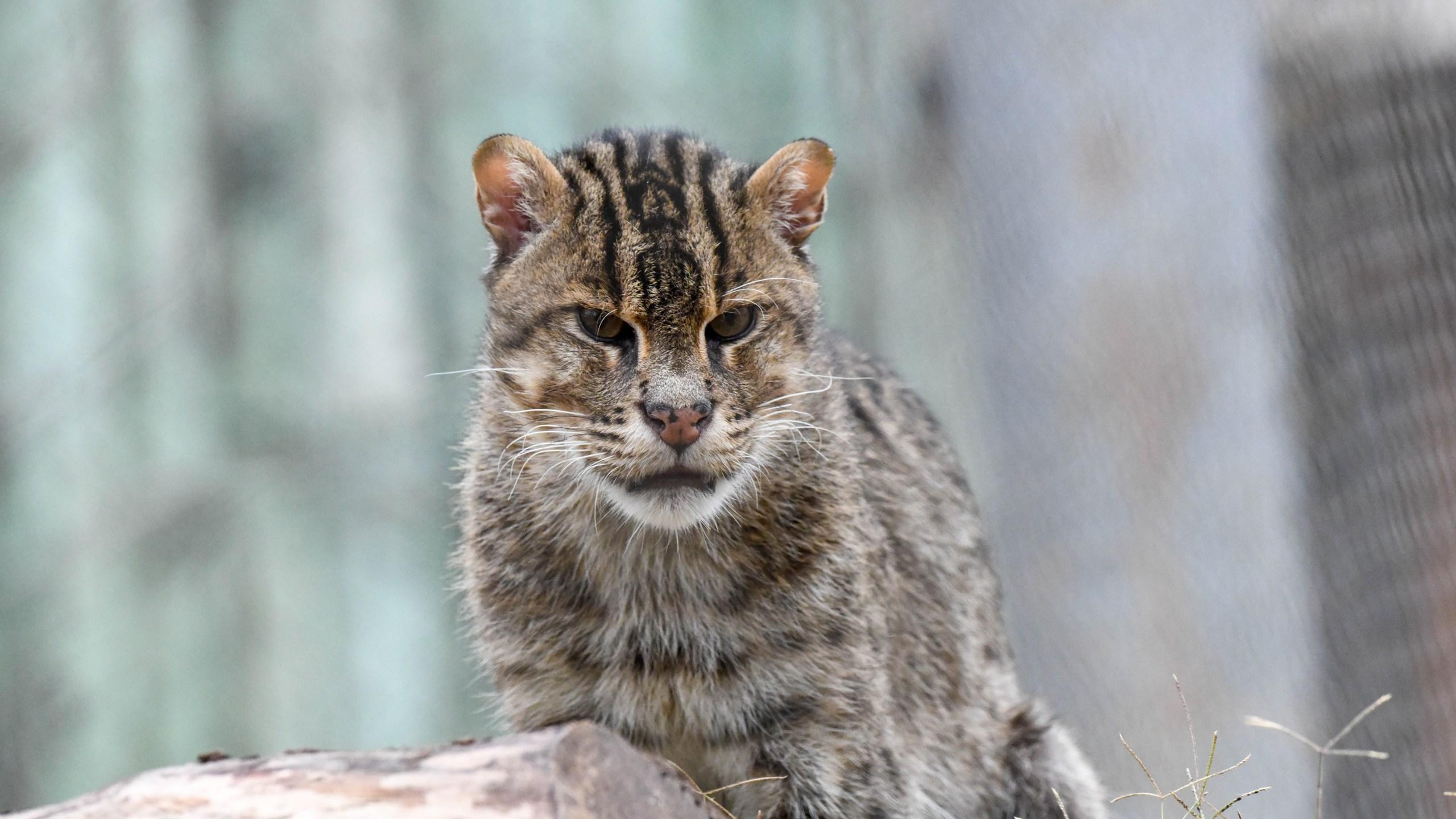 OKC Zoo new fishing cat Chet credit Sabrina Heise