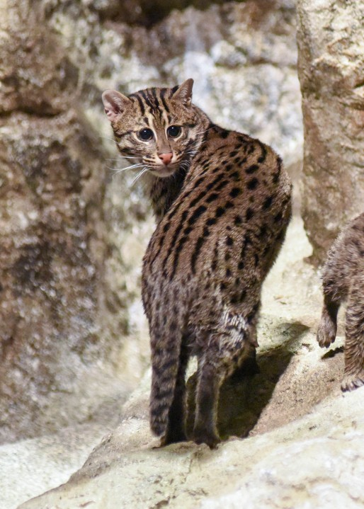 OKC Zoo's new fishing cat Anna credit Chicago Zoological Society