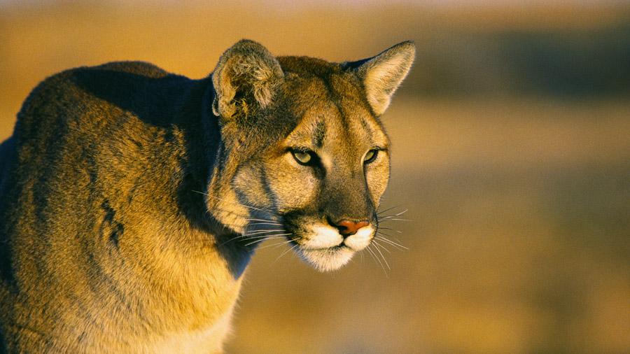 A mountain lion (File photo)