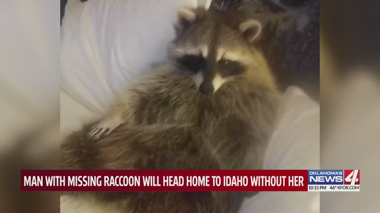 Search for Idaho man's missing pet raccoon comes to bittersweet end in Oklahoma