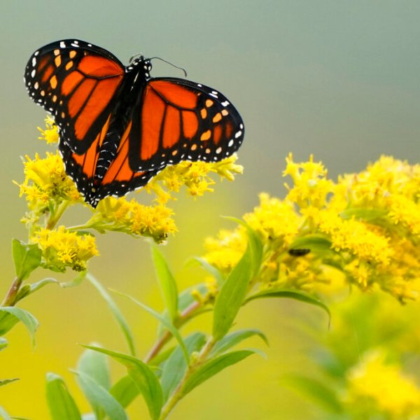 A Monarch butterfly pauses in a field of Goldenrod at the Flight 93 National Memorial in Shanksville, Pa., Friday, Sept. 11, 2020. (AP Photo/Gene J. Puskar)