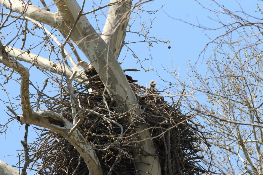 Eagle Nest March 30, 2021
