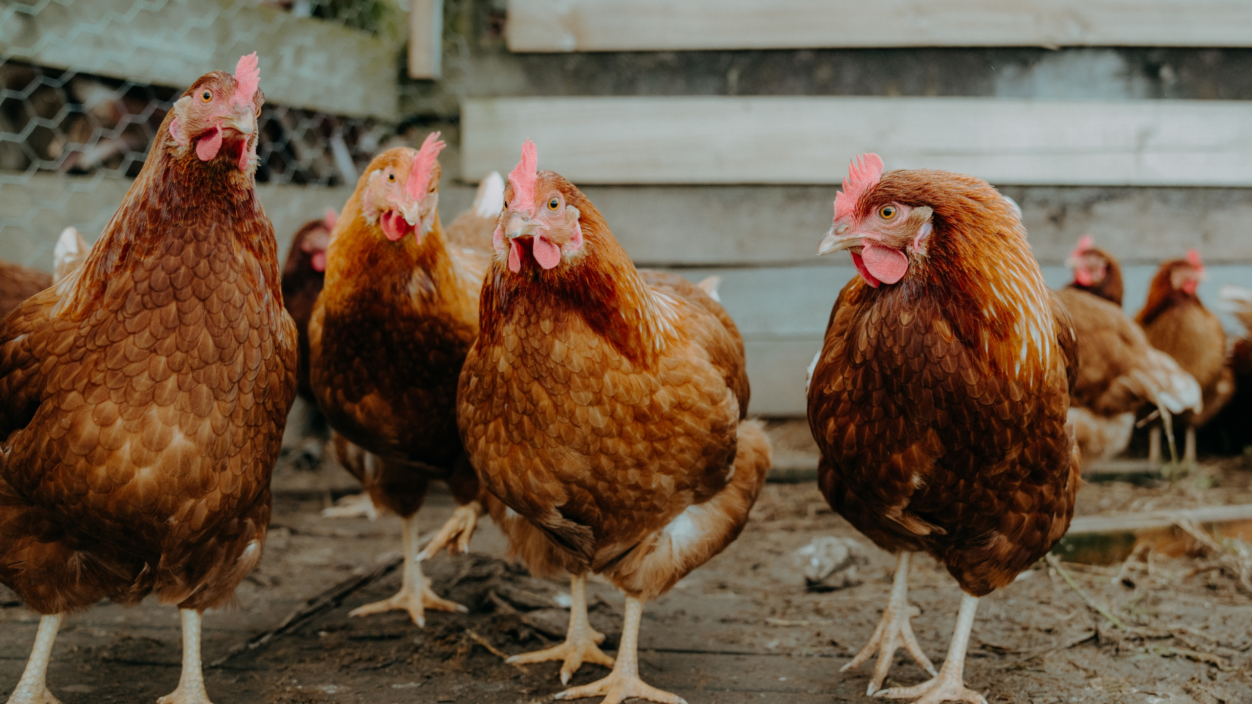 A file photo of chickens. (Getty Images)