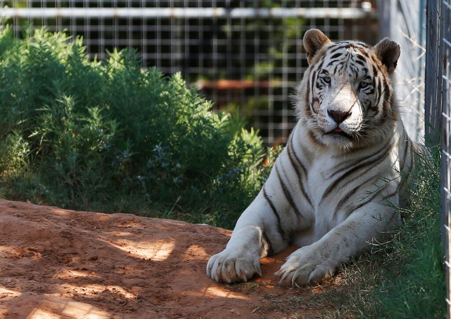 """In this Wednesday, Aug. 28, 2013, file photo, one of the tigers living at the Greater Wynnewood Exotic Animal Park is pictured at the park in Wynnewood, Okla. The animals were moved to a different zoo called, Tiger King-Zoo in Thackerville, Okla. Federal authorities have seized 68 big cats from Netflix's """"Tiger King"""" stars Jeffrey and Lauren Lowe's animal park in Thackerville. The U.S. Department of Justice announced on Thursday, May 20, 2021, the seizure of the federally protected lions, tigers, lion-tiger hybrids and a jaguar. (AP Photo/Sue Ogrocki, File)"""