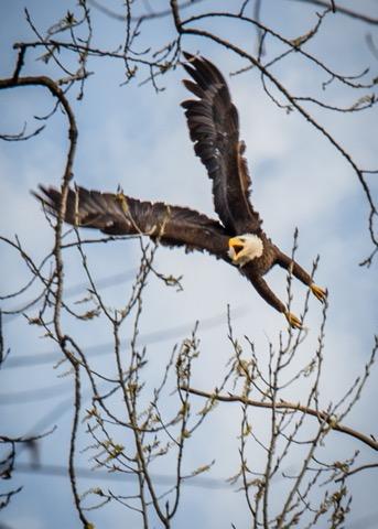 Bald eagles at Horseshoe Lake (1)