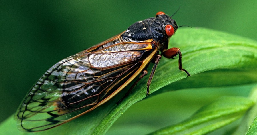 Cicada by Getty Images