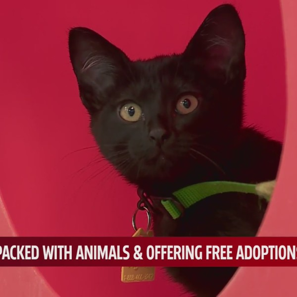 black kitten at OKC Animal Welfare available for adoption