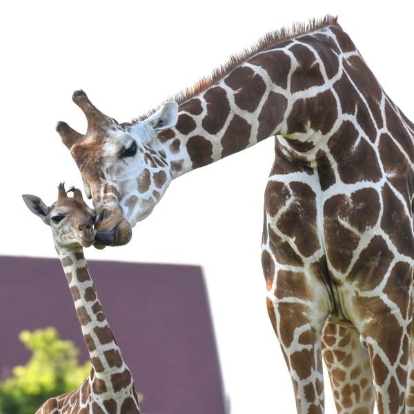 OKC Zoo Giraffes Demetri and calf June 2021