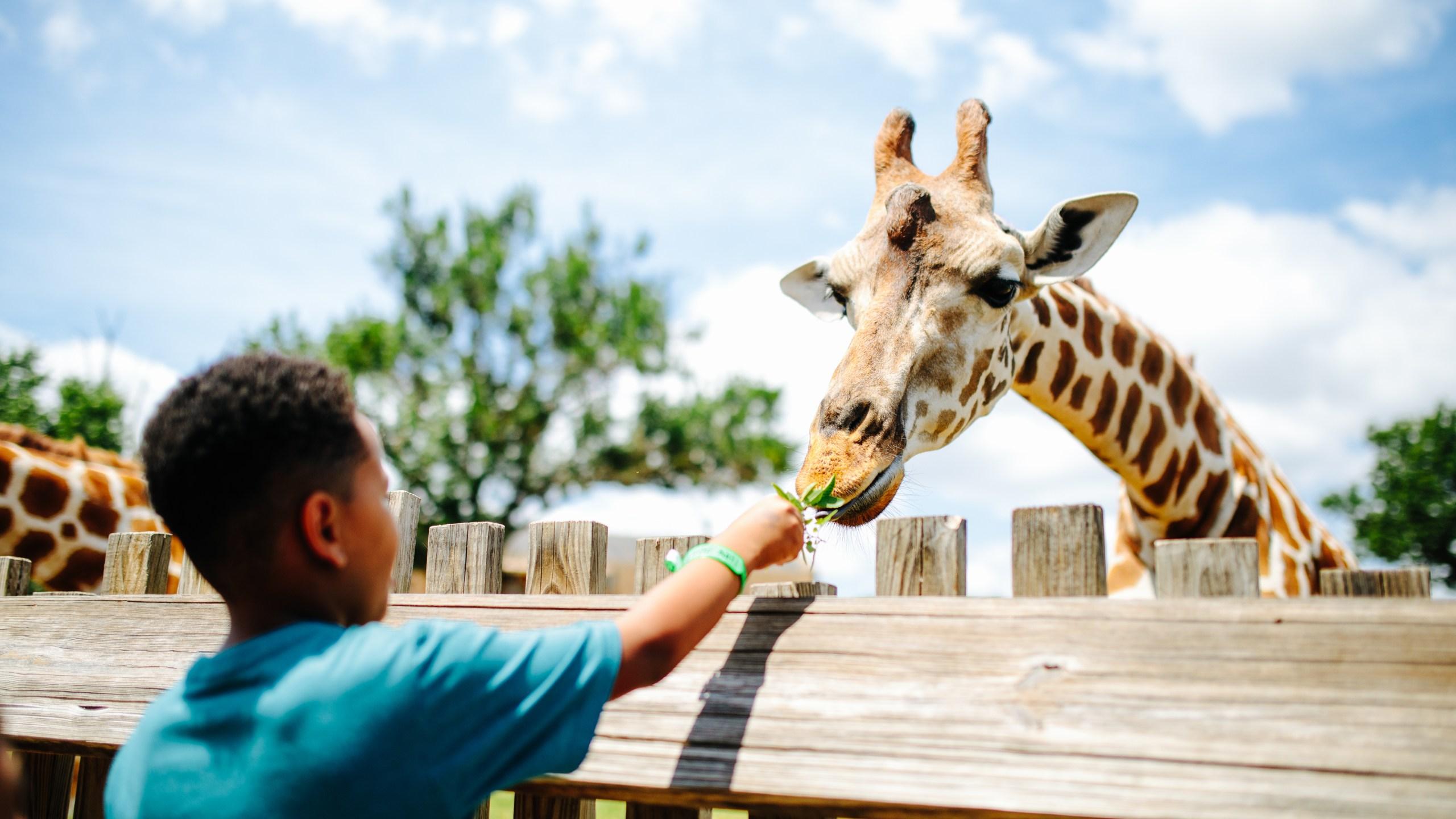 Giraffe Feeding at the OKC Zoo