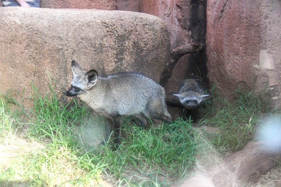 Two bat-eared foxes emerge from Oklahoma Zoo enclosure into habitat
