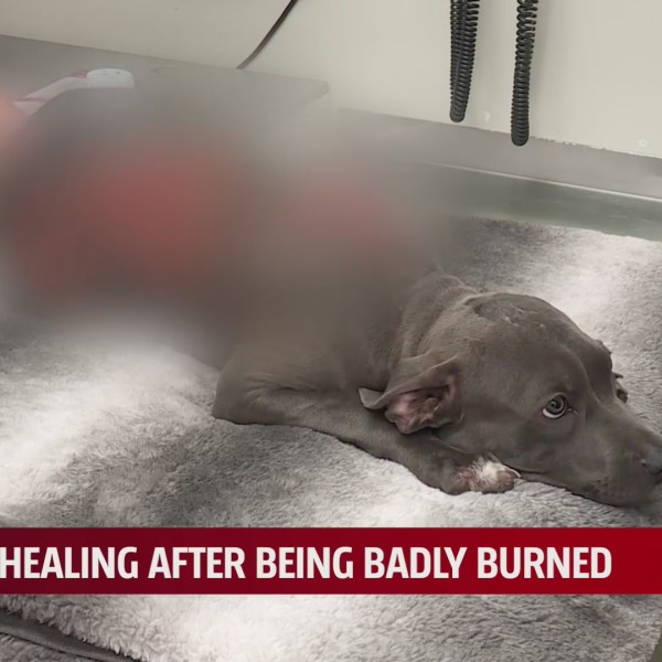 Arlo, a 4-month-old puppy badly burned being taken care of by Bella SPCA