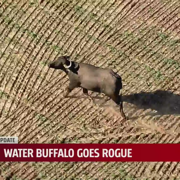 water buffalo in Harrah, Oklahoma field