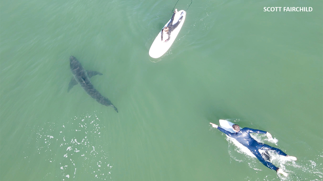 image of DEL MAR GREAT WHITE SHARKS AND SURFERS